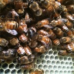 Bee Smart! How to choose real honey and protect our bees